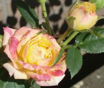 ミニ薔薇2.jpg