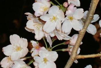 お花見13.jpg