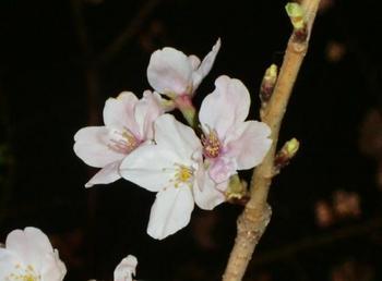 お花見14.jpg